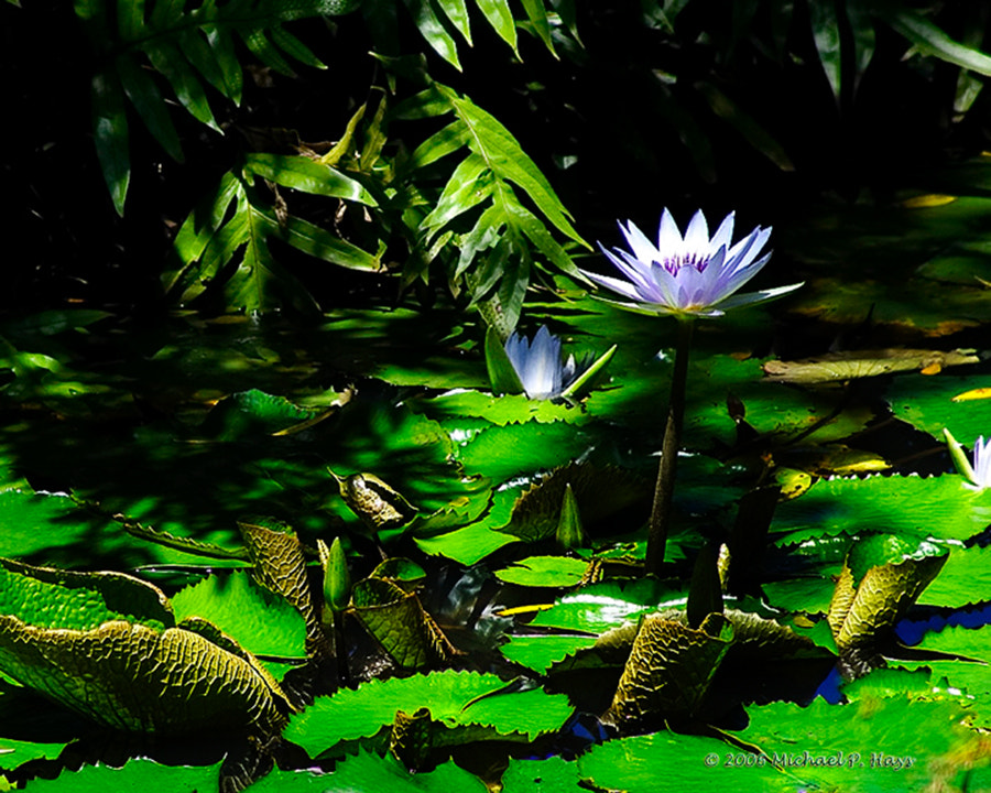 Photograph Lily pads and flower by Michael Hays on 500px