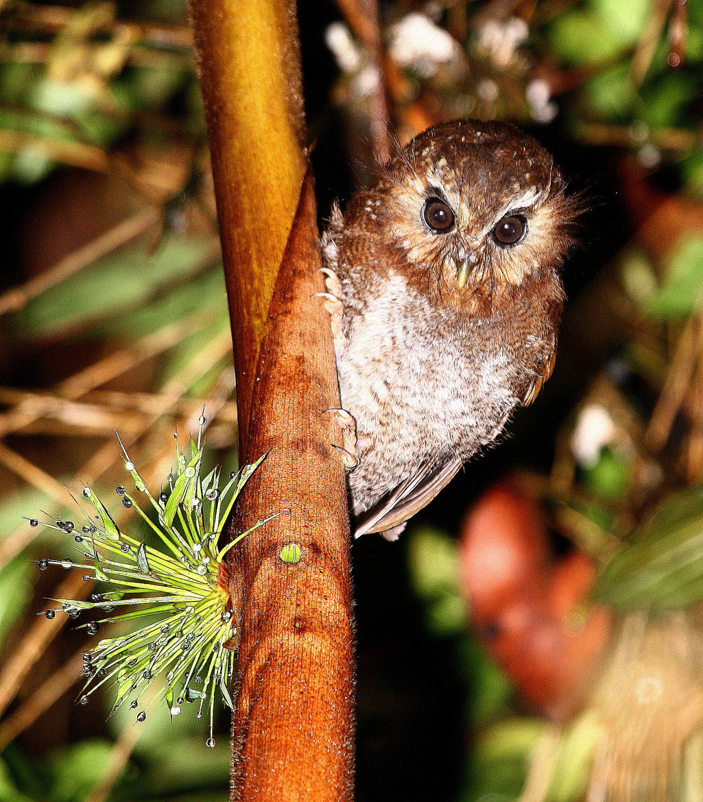 Photograph Long-whiskered Owlet by Andy Whittaker and Jaque Fortuna on 500px