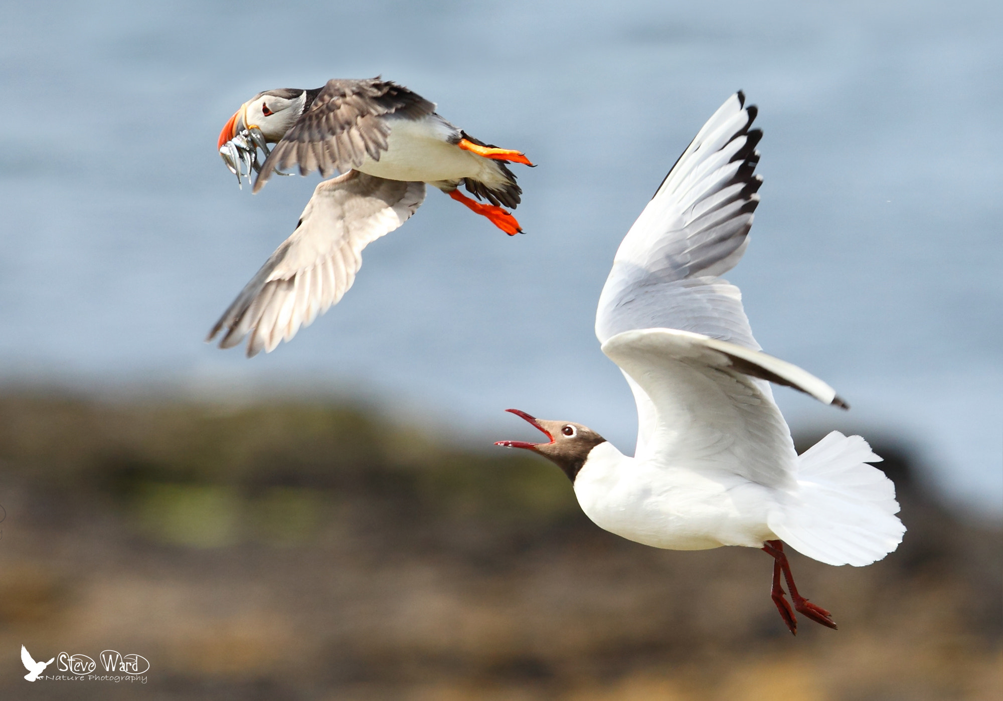 Photograph Puffin hi-jacked by Steven Ward  on 500px