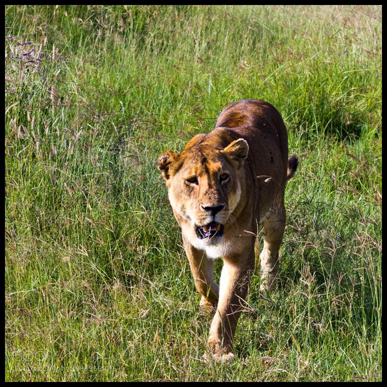 Photograph Tanzania Lion Walking by Alina Vorob on 500px