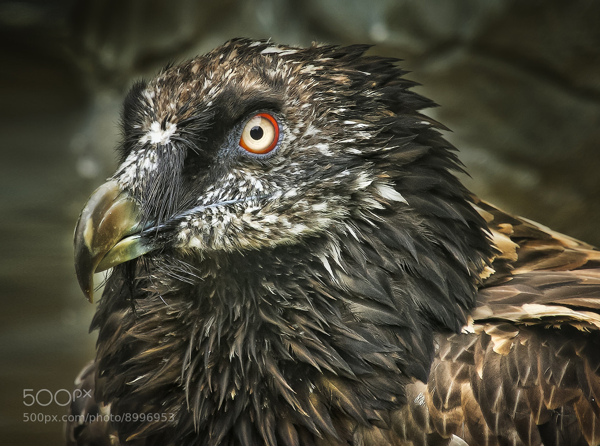 Photograph bearded vulture by Detlef Knapp on 500px