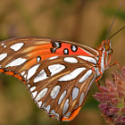 Постер, плакат: Recently Eclosed Gulf Fritillary Butterfly