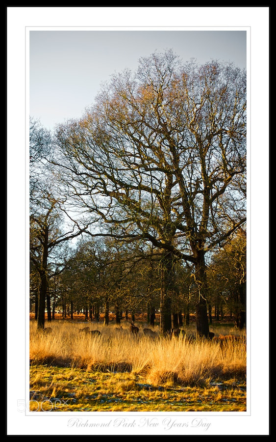 Photograph Richmond Park - Deer In The Grass by Sean Cheng on 500px