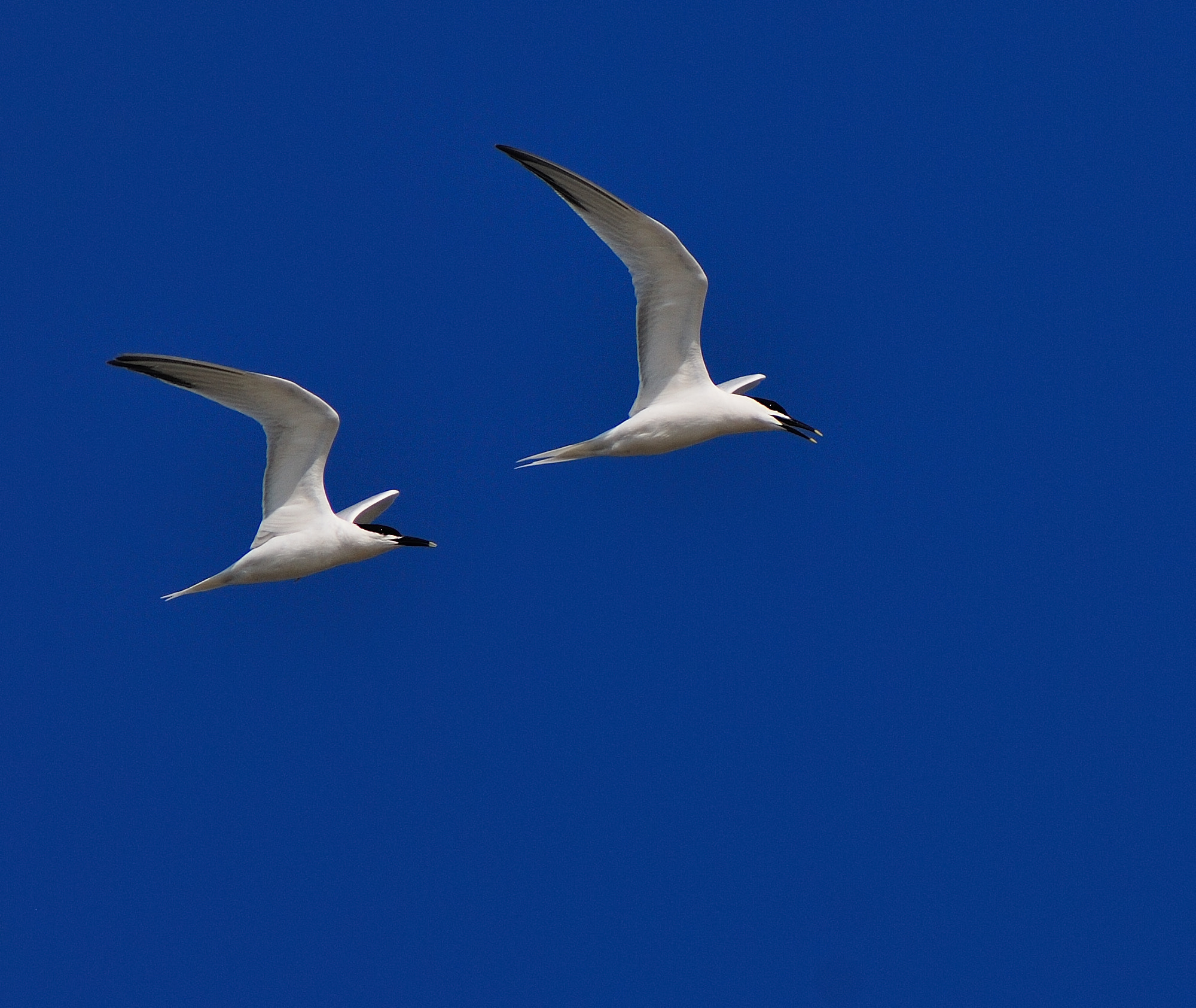 Photograph Sandwich Terns by Tony Beck on 500px
