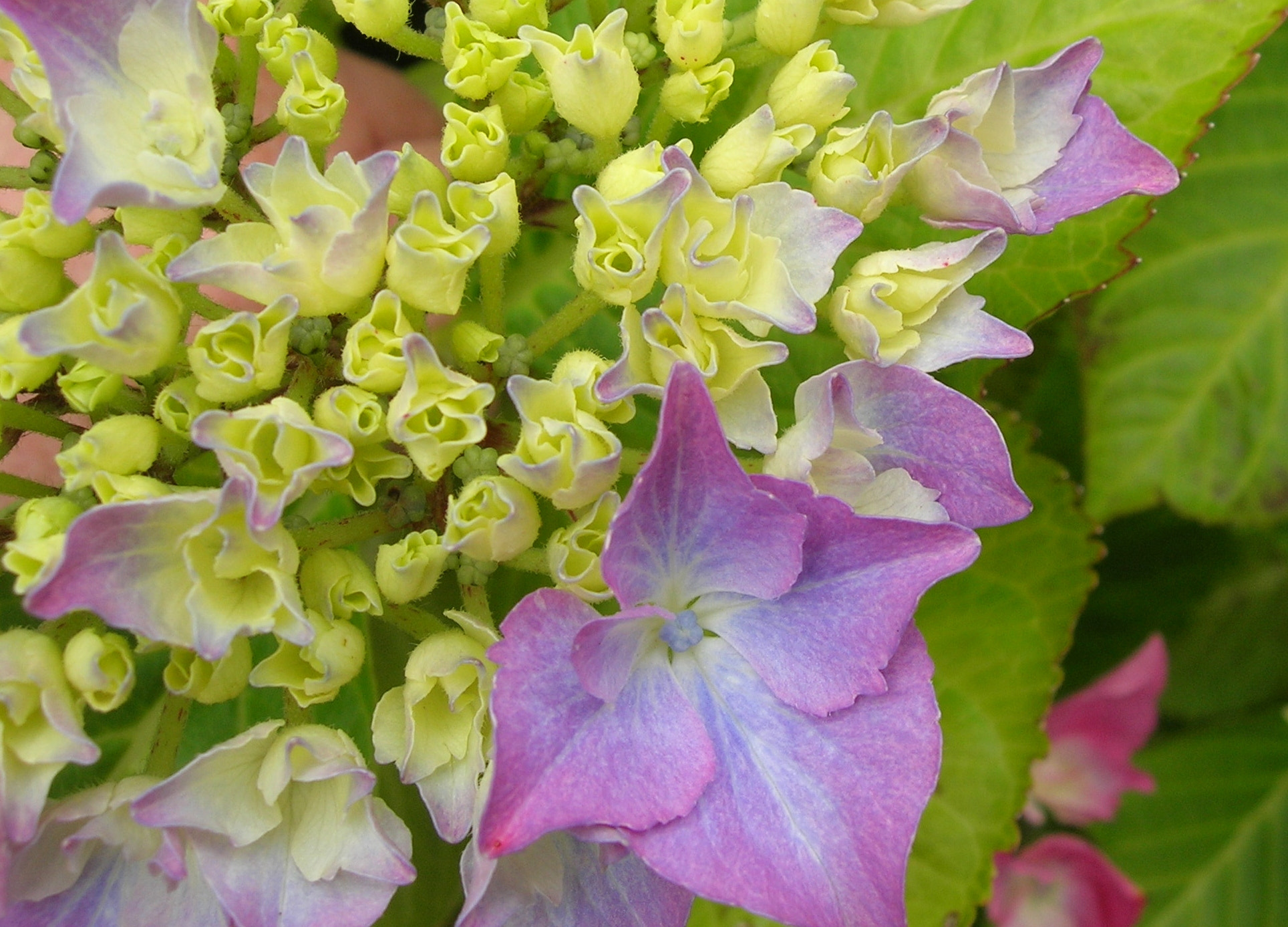 Photograph Hydrangea 'Lace Cap' by Linda Foakes on 500px
