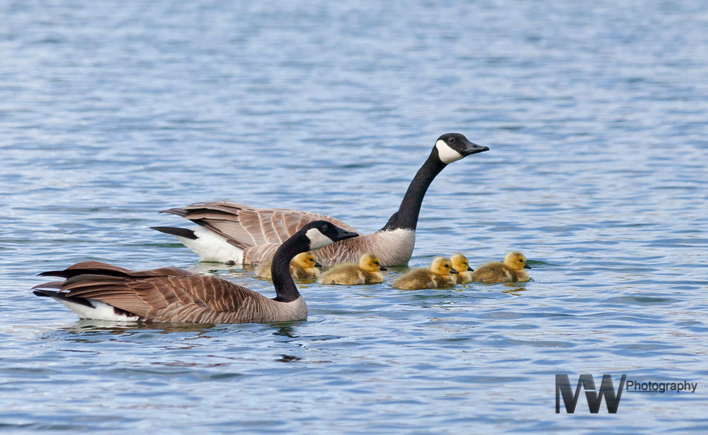 Photograph The Goose Family by Mike Wanini on 500px