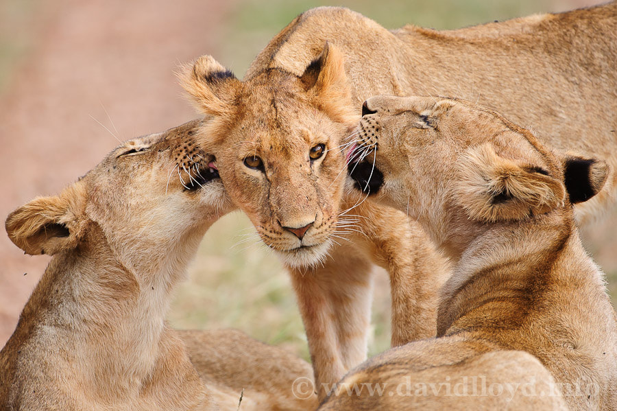 Photograph Grooming Lions by David Lloyd on 500px