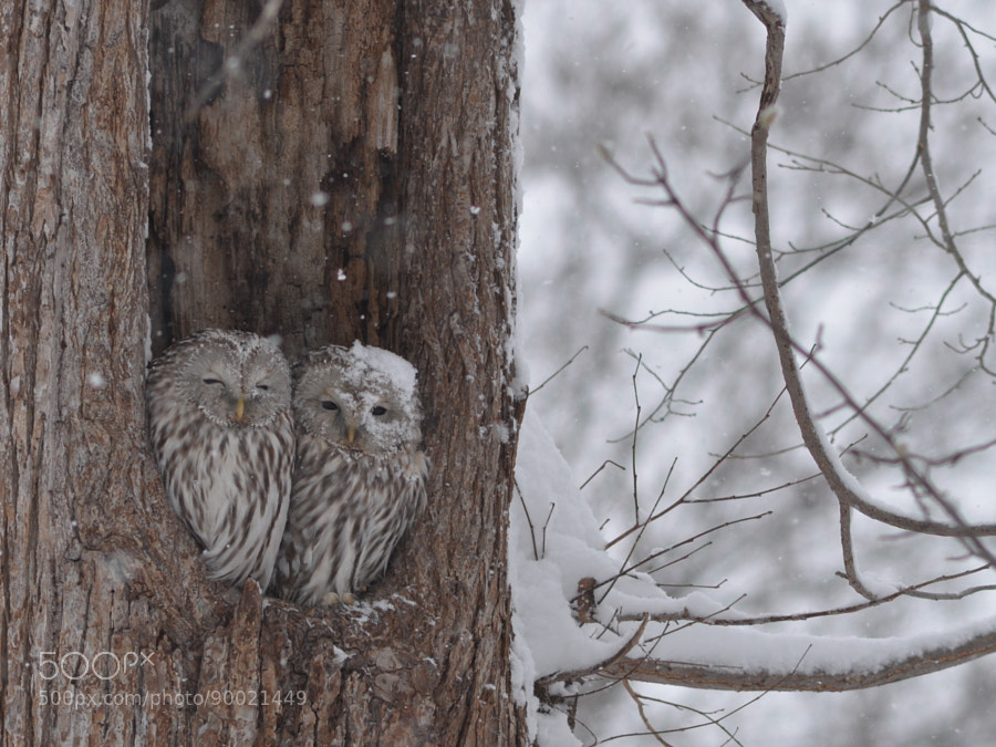 Photograph winter love owl** by Chiaki Fujino on 500px