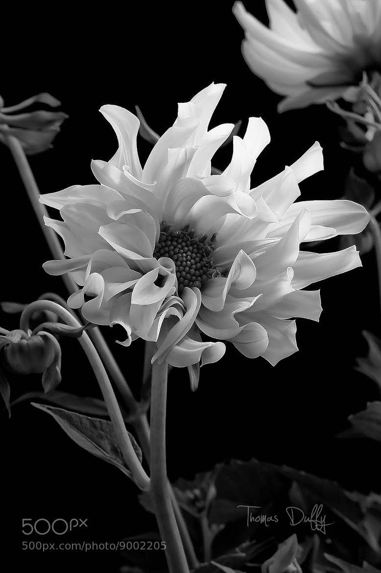 Photograph Dahlia in Black & White by Thomas Duffy on 500px