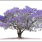 Jacaranda Mimosifolia. Fine art archival canvas print. Limited to 24 pieces usually sized 140x100cm. Small unlimited sizes also available.