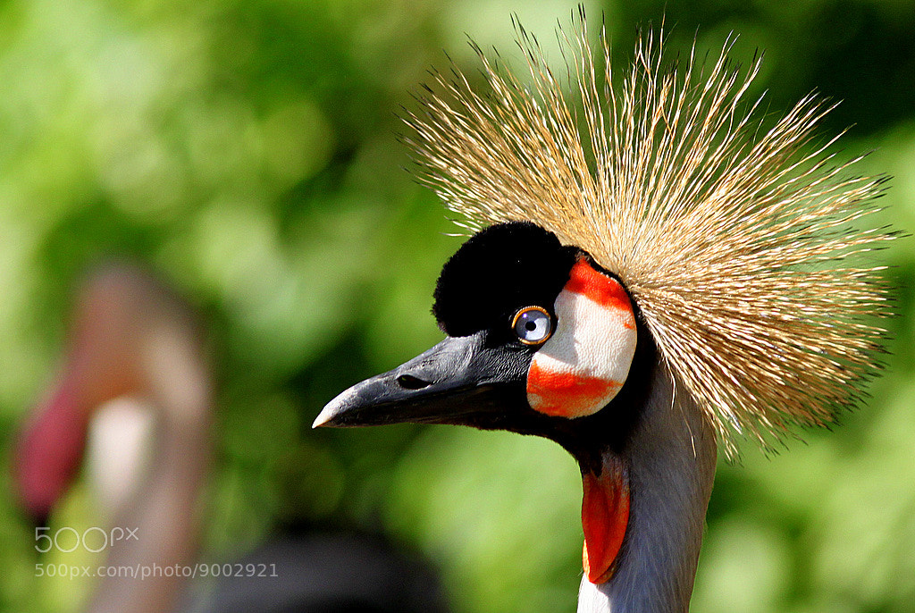 Photograph Crowned crane by Rainer Leiss on 500px