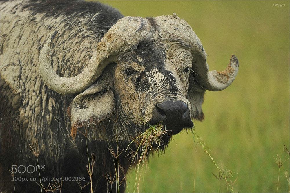 Photograph African Buffalo by Elmar Weiss on 500px
