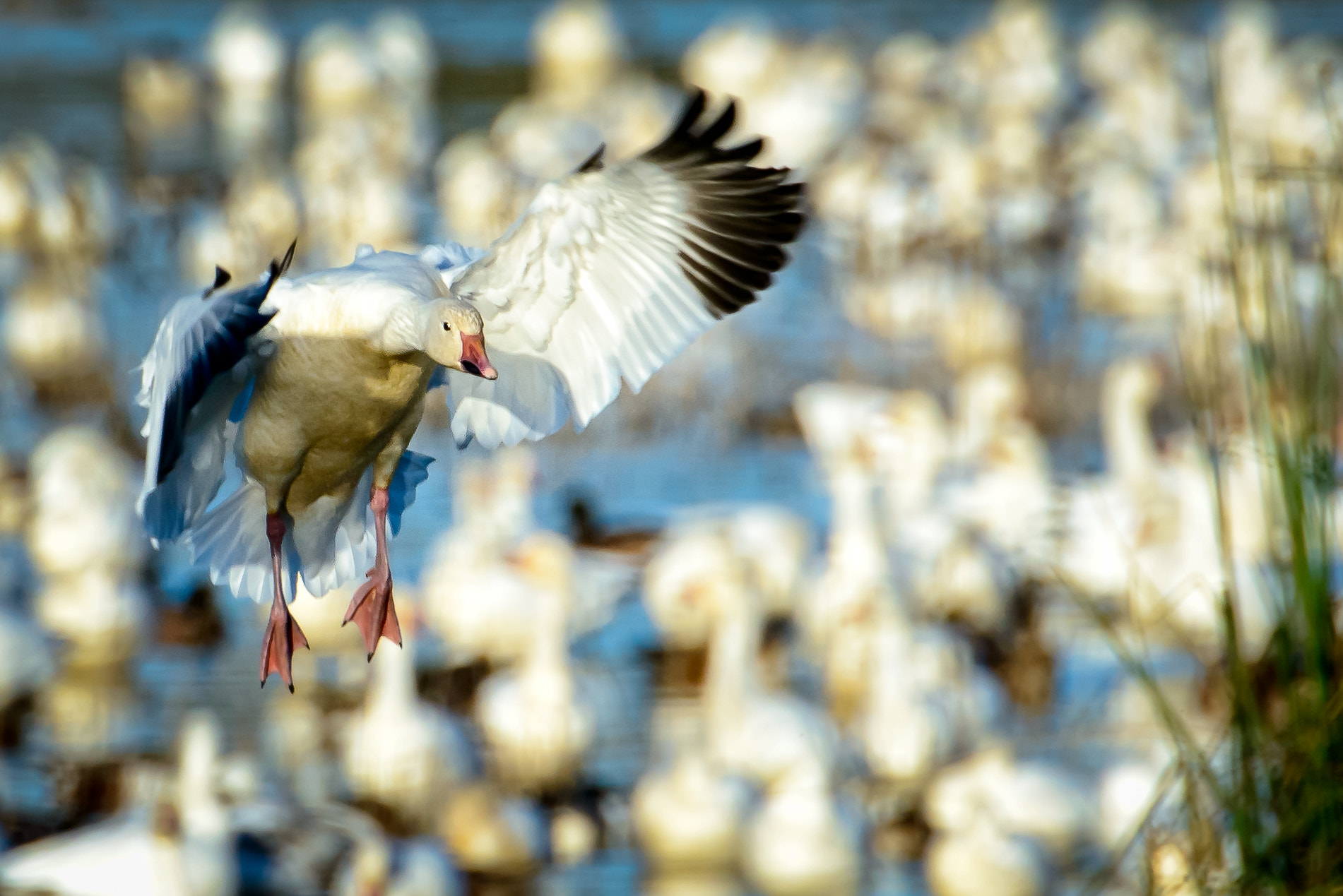 Snow Goose On Final Approach