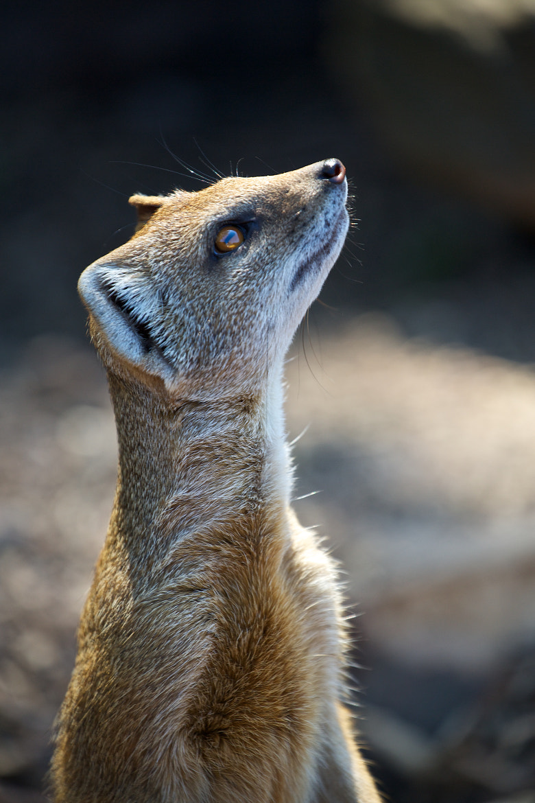 Photograph Mongoose watching, guess what is coming? by Christophe Pfeilstücker on 500px