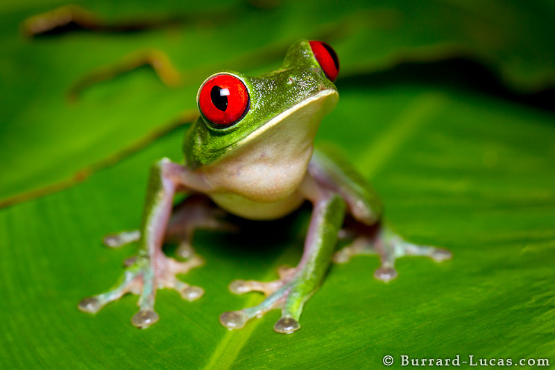 Photograph Red-eyed Tree Frog by Will Burrard-Lucas on 500px