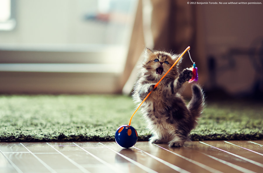 500px.comのBen TorodeさんによるKitten Means Business