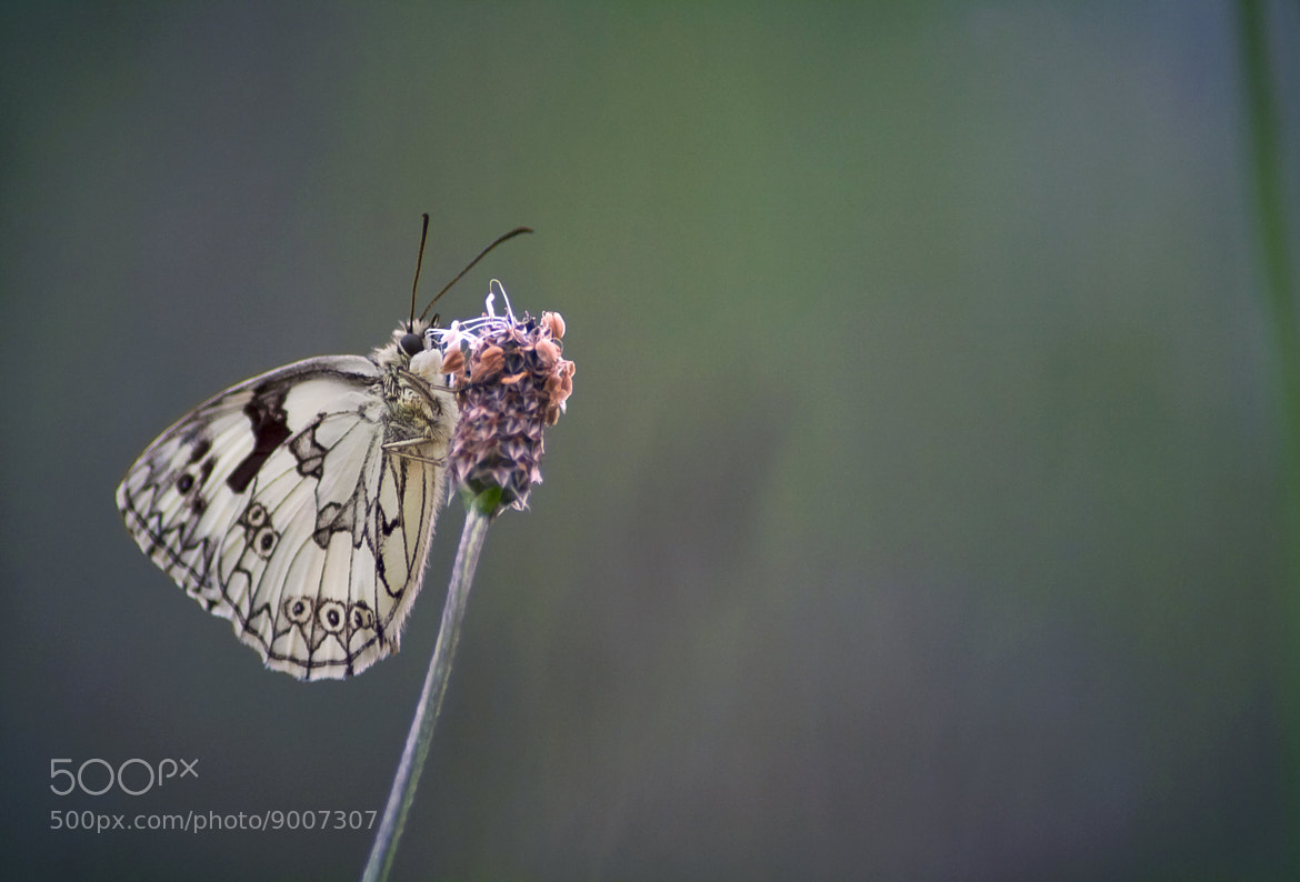 Photograph ♥ just a classical butterfly ♥ by Yohanna Del'heaumeau on 500px