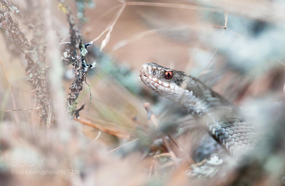 Photograph Viper by Joni Niemelä on 500px