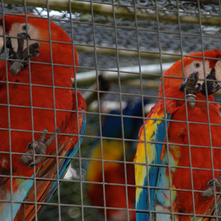 Caged Macaws