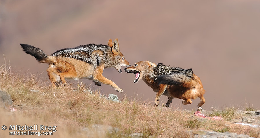 "Photograph ""Skirmish"" Jackal Fight 