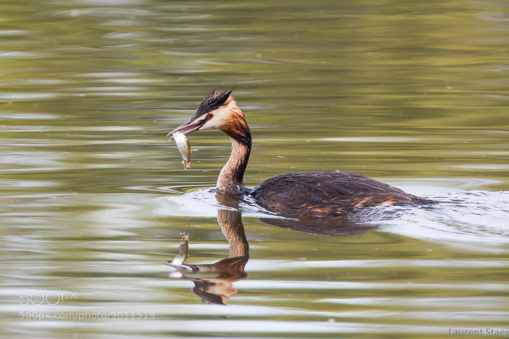 Photograph Great Crested Grebe by Laurent Staes on 500px