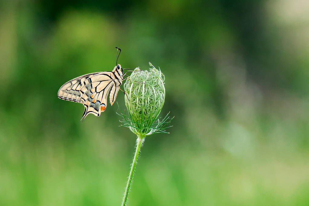 Photograph Swallowtail by Umberto Salvagnin on 500px