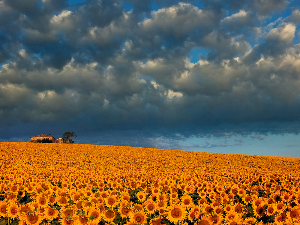 Photograph field of sunflowers by ivo pandoli on 500px
