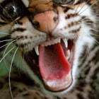 Постер, плакат: The ocelot or dwarf leopard Leopardus pardalis that lives in s