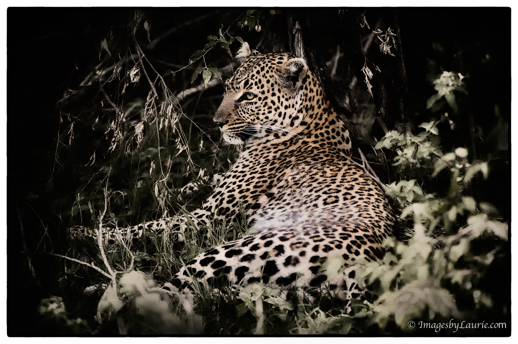 Photograph The Leopard by Laurie Rubin on 500px