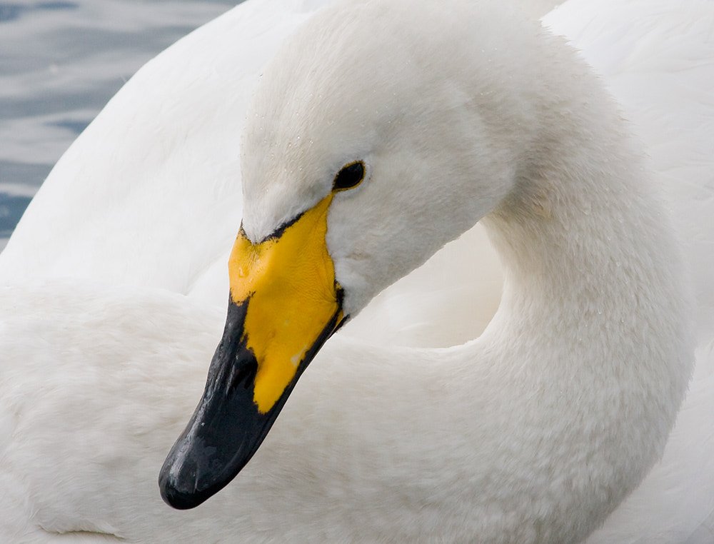 Photograph Whooper Swan by Mark Medcalf on 500px