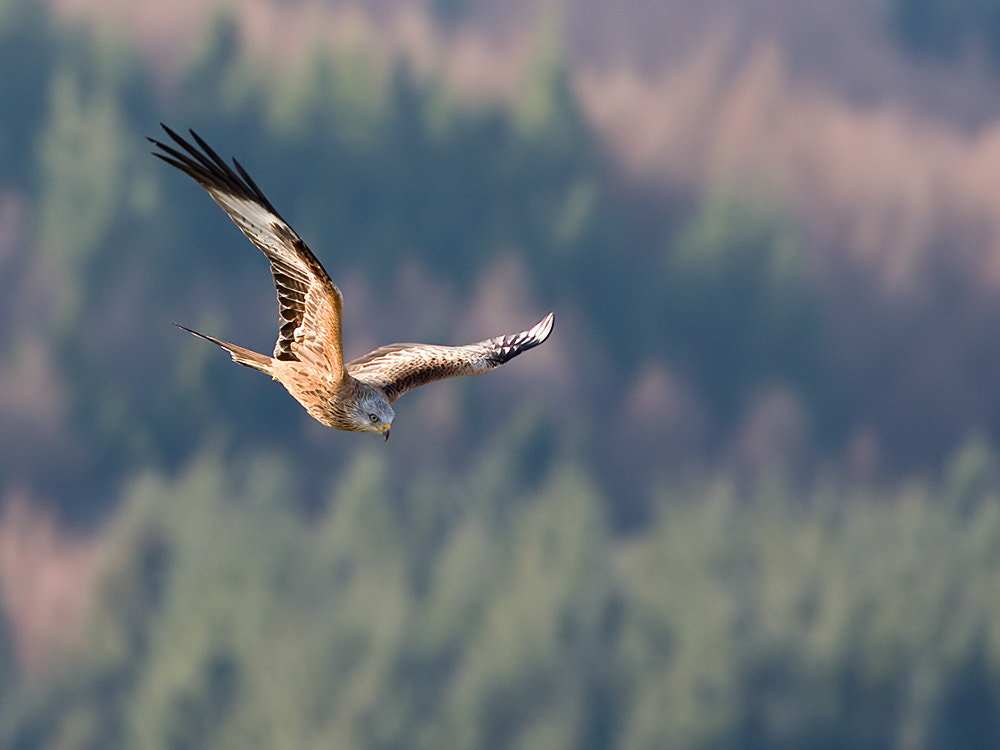 Photograph Red Kite by Mark Medcalf on 500px
