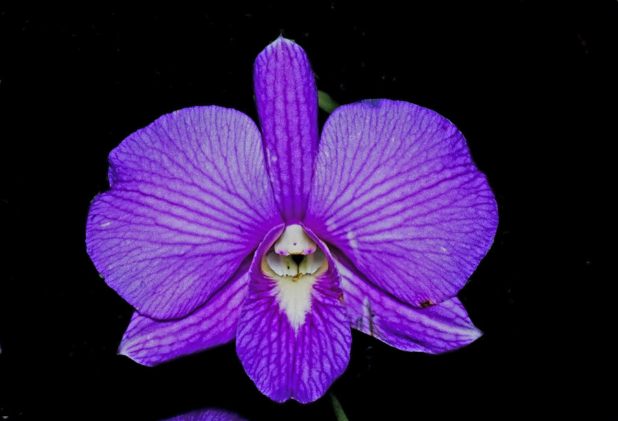 Photograph orchid by Johari (Paklang) Saad on 500px