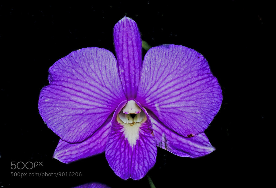 Photograph orchid by Johari Saad on 500px