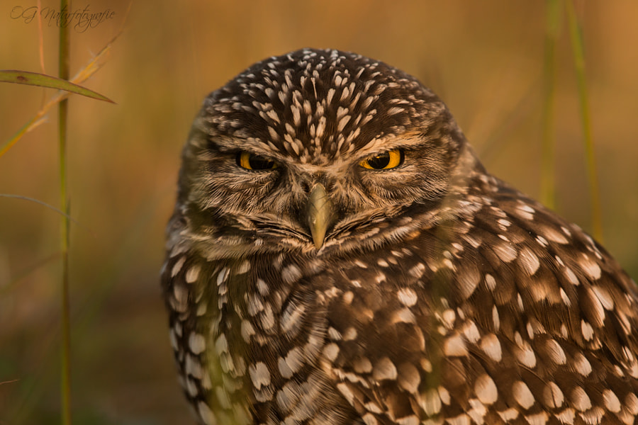 Photograph Grumpy Owl! by Oliver Geiseler on 500px