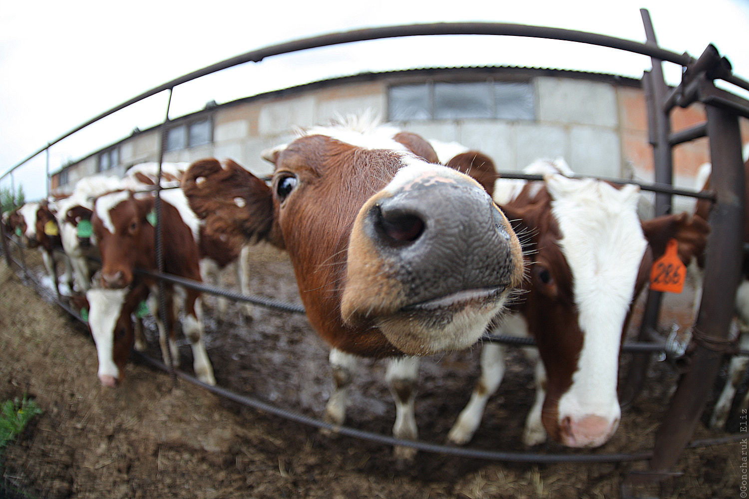 Photograph Cows by Elizabeth Goncharuk on 500px