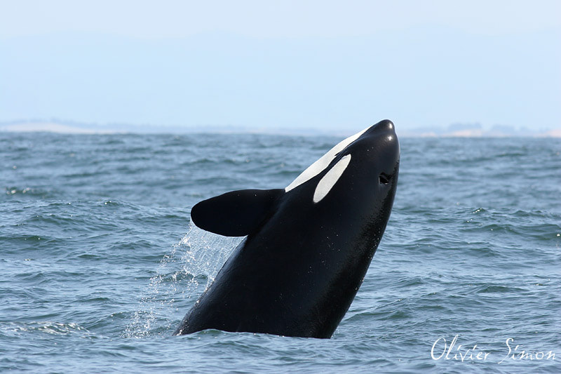 Photograph Hunting Orca by Olivier SIMON on 500px