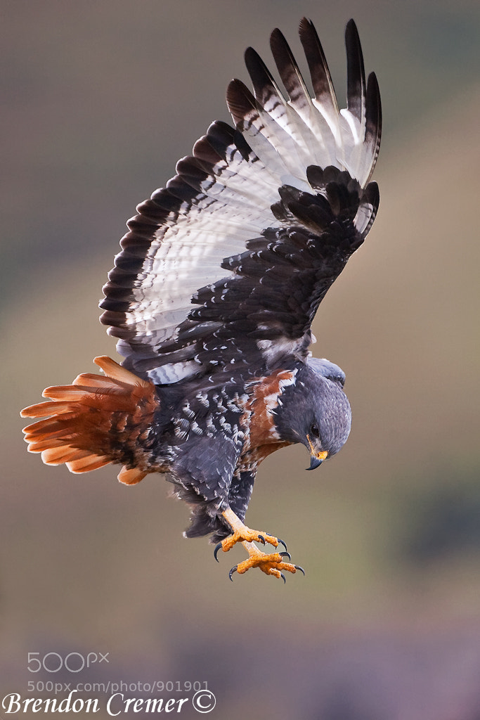 Photograph Jackal Buzzard by Brendon Cremer on 500px