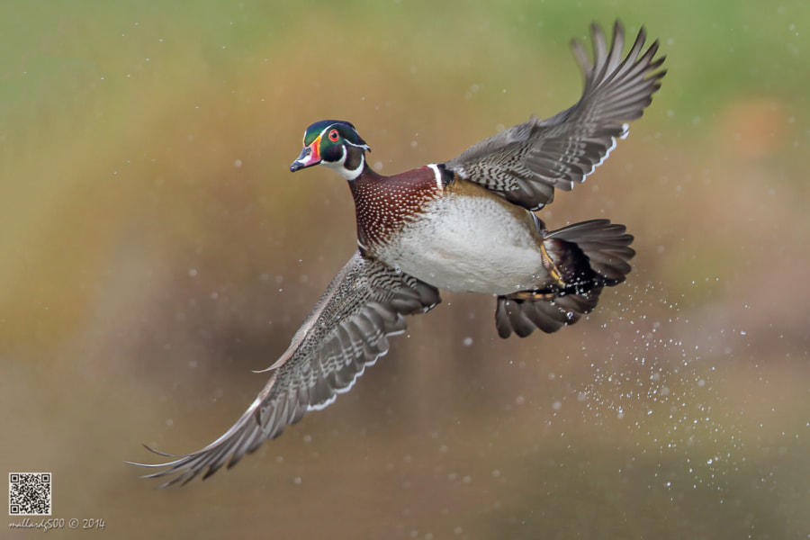 Photograph Wood Duck by Phoo (mallardg500) Chan on 500px