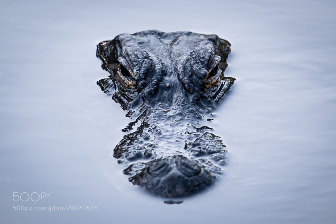 Photograph Aligator by heimstead on 500px