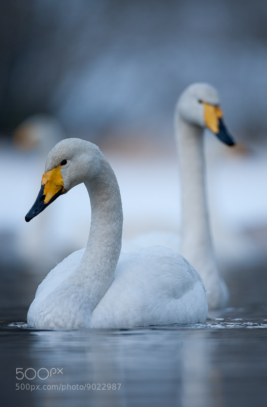 Photograph Whooper Swan by Geir  Jensen on 500px