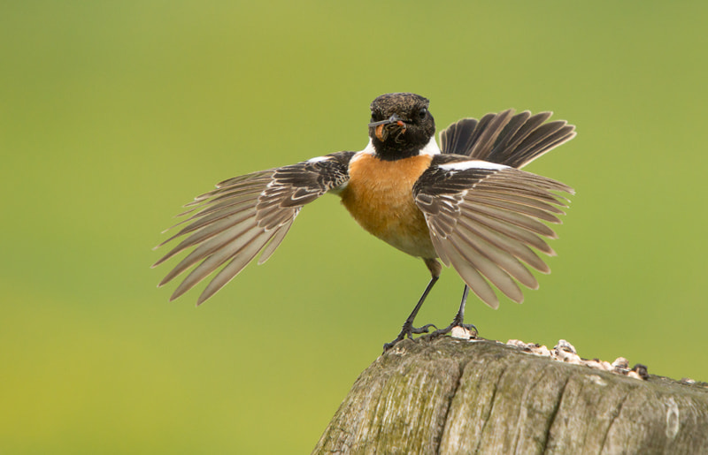 Photograph Stonechat by Dinand Molenaar on 500px