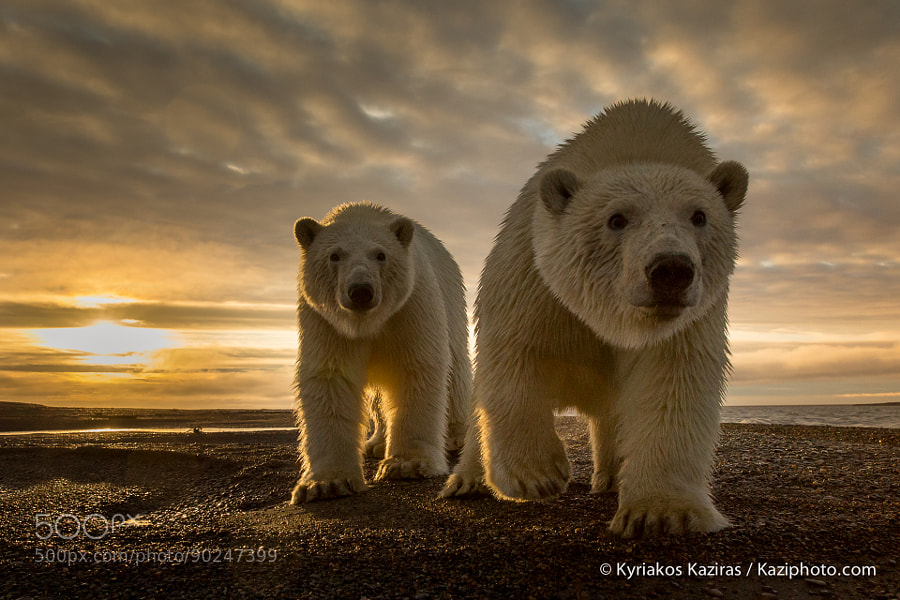 Photograph Curious Bear by Kyriakos Kaziras on 500px
