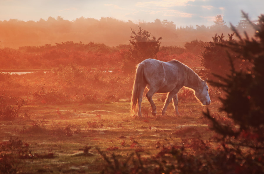 New Forest Pony by Ceri Jones on 500px.com