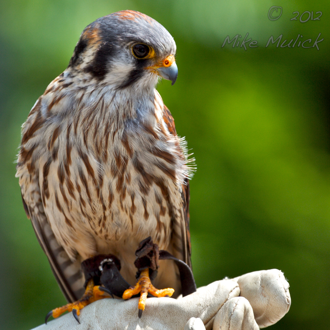Photograph Female American Kestrel by Mike Mulick on 500px