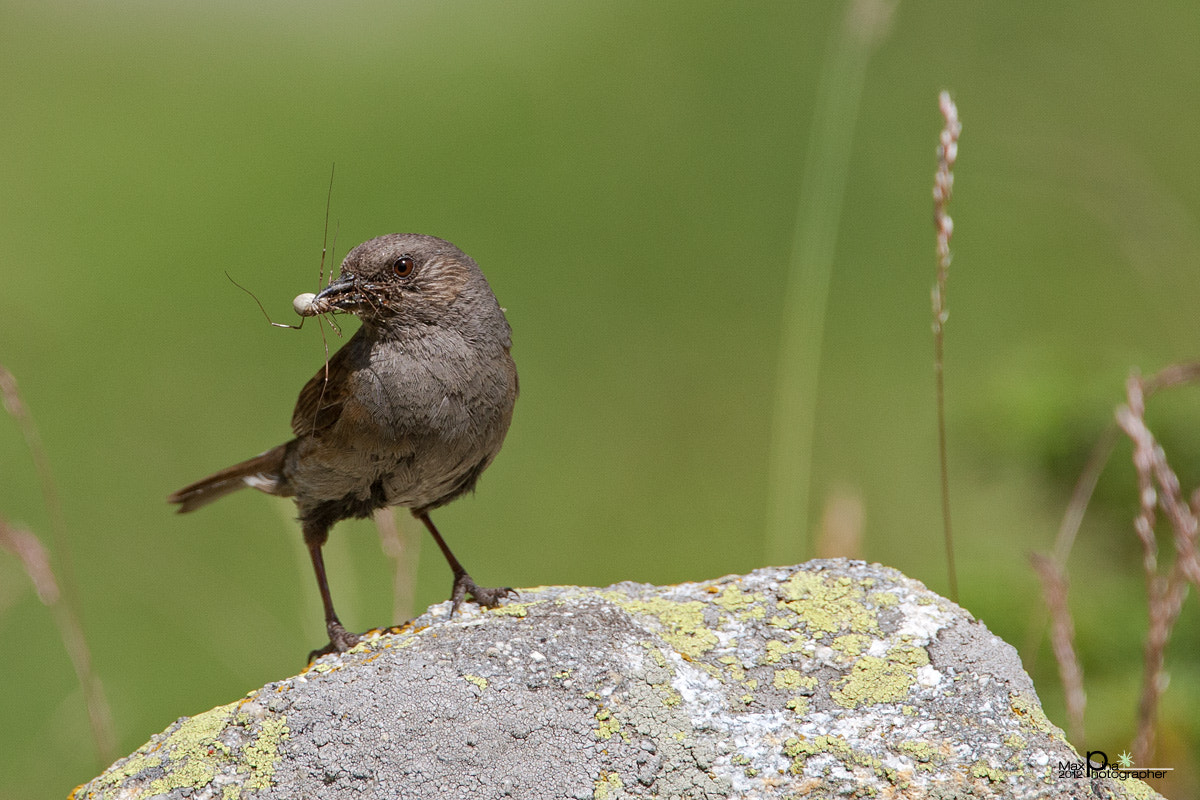 Photograph Dunnock by Massimo Dadone on 500px