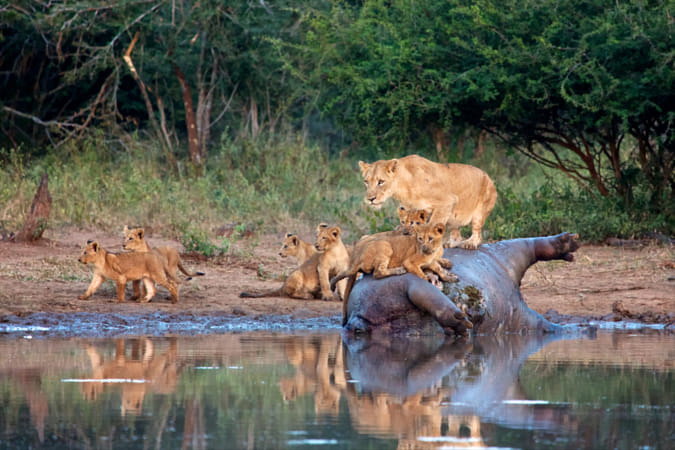 lions eating an hippopotamus in kruger national park south africa
