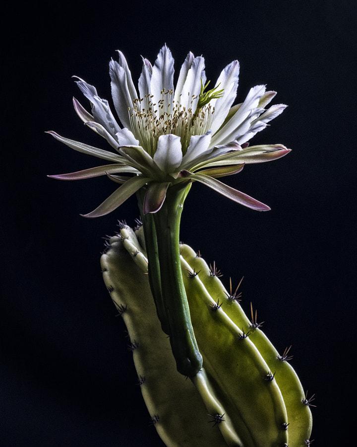 Night Blooming Flower 2