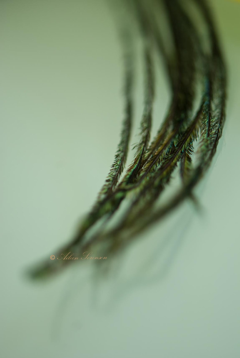 Photograph Feather by Aileen Sorenson on 500px
