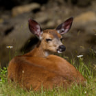 I went looking for birds and found deer.  A mule deer relaxing (chewing her cud) on the edge of Old Barge Channel, in the Maplewood Flats Wilderness Conservation Area – North Vancouver, Canada. I saw six deer that morning.