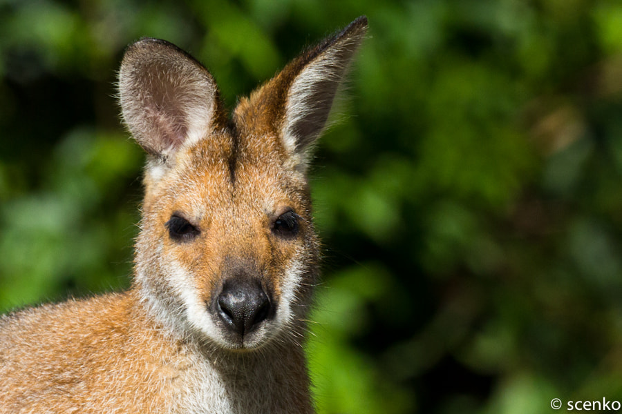 Photograph Red-necked Wallaby by © Scenko on 500px